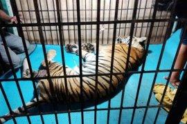 Bangkai harimau sumatera Taman Rimba Jambi dibakar