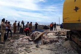 BKSDA kuburkan bangkai paus biru mati terdampar di pulau buru