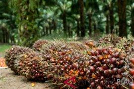 Harga sawit anjlok, petani di Nagan Raya ramai-ramai jual kebun