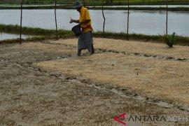 Petani Abdya peroleh bantuan benih padi unggul