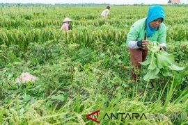 NTP Maluku Utara turun 0,54 persen