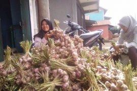 Mandiri benih bawang putih dari Desa Batang Sangir