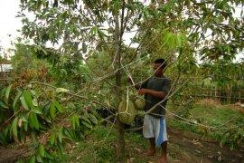 Pengembangan durian di Lebak didukung Kementan