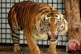 Ini kronologis serangan harimau yang tewaskan seorang warga