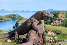 Jusuf Kalla: Ditutup atau tidak Taman Nasional, Komodo tetap perlu makan