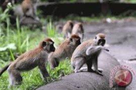 Petani Lebak Keluhkan Serangan Gerombolan Monyet dan Babi Hutan