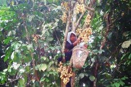 Musim panen buah duku warnai wisata percandian Muarojambi