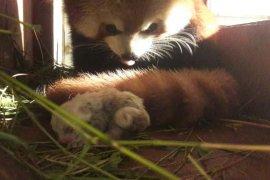 Bayi Panda merah di TSI Cisarua sehat dan aktif