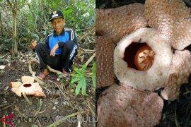 Disparpora: Peneliti identifikasi bunga rafflesia di Mukomuko