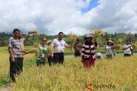 Panen padi masyarakat Huta Godung bersama TPL
