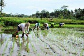 500 ribu hektare rawa akan dijadikan lahan pertanian