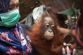 IAR Indonesia BKSDA Kalbar selamatkan bayi orangutan