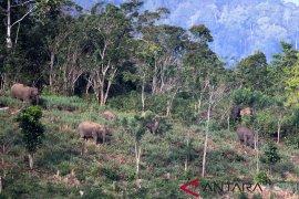 Gangguan gajah ribuan batang tanaman rusak di Aceh Utara
