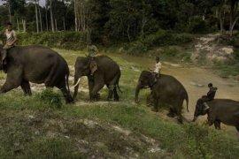 Tingginya konflik antara gajah dan manusia jadi dilema