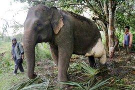 Pengobatan gajah jinak
