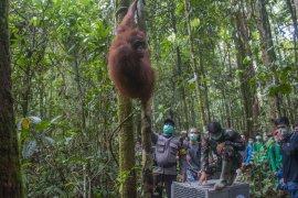 IAR Indonesia dan BKSDA Kalbar lepasliarkan enam orangutan di TNBBBR