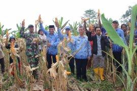 Polbangtan Bogor dampingi BPP panen jagung lima hektare