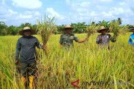 Wali Kota Tanjungbalai dan petani panen padi perdana 2019