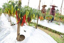 Distan Ternate akan kembangkan program pertanian berbasis perkotaan