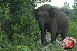 Kabupaten Aceh Utara, wilayah konflik gajah-manusia tanpa korban