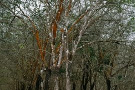 Gapkindo : musim gugur daun tanaman karet Sumut memasuki fase kedua