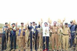 Mentan panen jagung di Desa Tajau Pecah