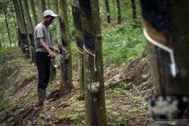 Pemerintah bakal remajakan 50.000 hektare perkebunan karet