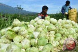 Kubis ekspor terbesar hasil pertanian Sumut