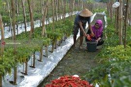 Stabilkan Harga, Pemkot Surabaya Siapkan Program Pascapanen Cabai