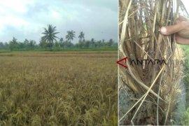 Hama walang sangit serang tanaman padi di Abdya