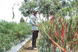Petani Nagan Raya mengeluh harga cabai terus murah