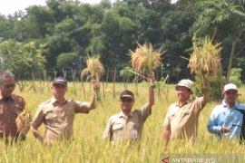 Pertanian HST berinovasi dengan kembangkan varietas Situ Bagendit di lahan basah