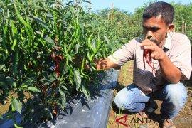 Harga Cabai Merah Mulai Membaik di Aceh