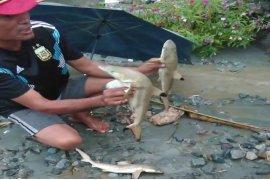Peneliti jelaskan asal hiu Sentani menyusul kemunculan hiu pascabanjir