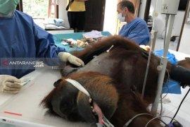 Orangutan dengan puluhan peluru di tubuh jalani operasi tulang