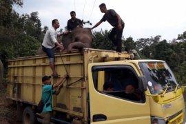 Konflik lahan makin meruncing, delapan gajah di Lahat terpaksa dievakuasi