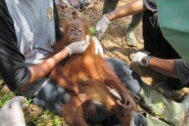 Ditemukan tak berdaya, petugas evakuasi orangutan dari perkebunan sawit