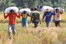 Harga gabah tingkat petani di Aceh turun 1,12 persen
