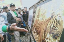 Gubernur Jambi beri nama tiga Harimau Sumatera