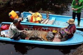 Harimau Sumatera muncul di areal konsesi PT API Bengkulu
