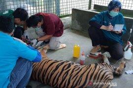 Harimau Sumatra yang ditemukan terjerat akhirnya mati
