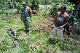 Ular piton mangsa tiga ekor ternak kambing warga Sikundo