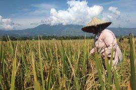 Produksi gabah turun tiga ton per hektare di Aceh