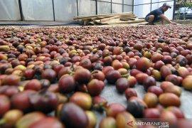 Produksi kopi Cibulao Bogor