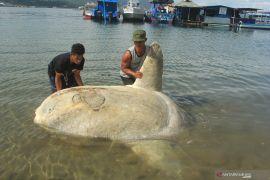 Peneliti: pelayaran kapal antarnegara penyebab alga beracun Teluk Ambon