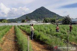 Budidaya Asparagus di Kota Singkawang sangat menjanjikan