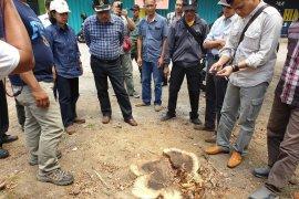 Kadishut sebut ada maling di kasus hilangnya belasan pohon sonokeling
