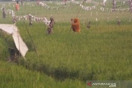 """Petani Abdya keluhkan meningkatnya hama burung """"serang"""" tanaman padi"""