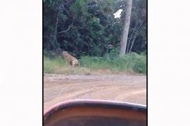 Harimau Sumatera muncul di konsesi PT API Bengkulu Utara