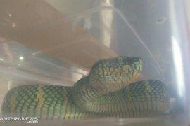 Ini ciri-ciri ular berbisa menurut ahli reptil ITB